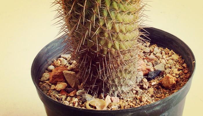 Cactus enfermo con espinas