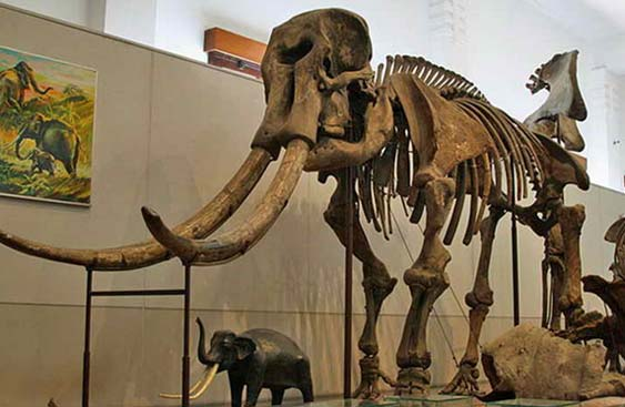 13ribu+ Koleksi Fosil Manusia Purba Museum Purbakala Sangiran