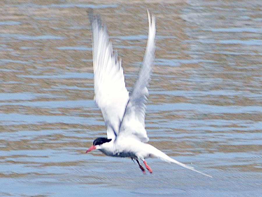 Image result for The Amazing Arctic Tern