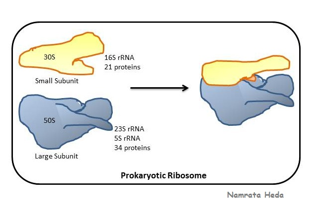 B for Biology Ribosomes - Protein Assemblers of the Cell