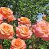 Beberapa Alat Dan Bahan Yang Diperlukan Untuk Menanam Bunga Mawar