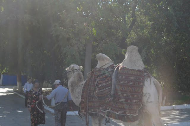 things to see and do in Bukhara Uzbekistan Two Humped Camel