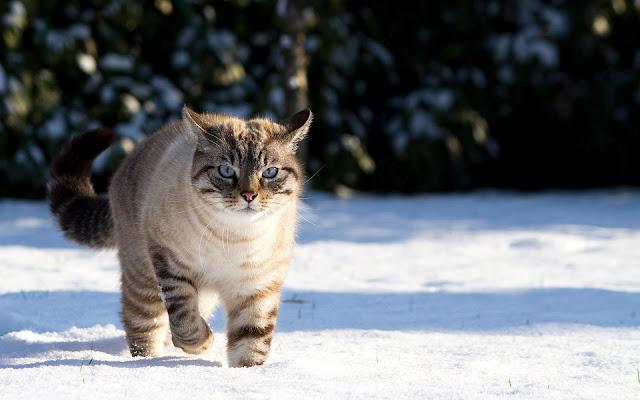 Kat loopt door de sneeuw