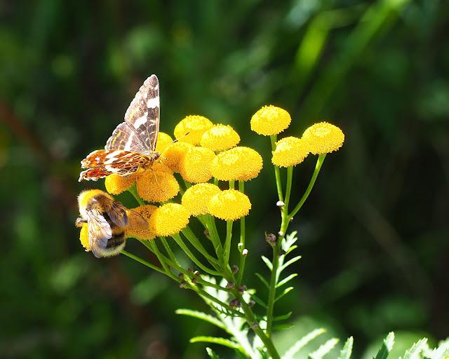 Landkärtchen und Hummel laben sich an einer Blüte