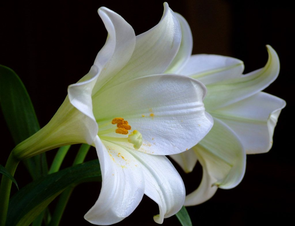Romantic flowers lily flower lily flower izmirmasajfo Images