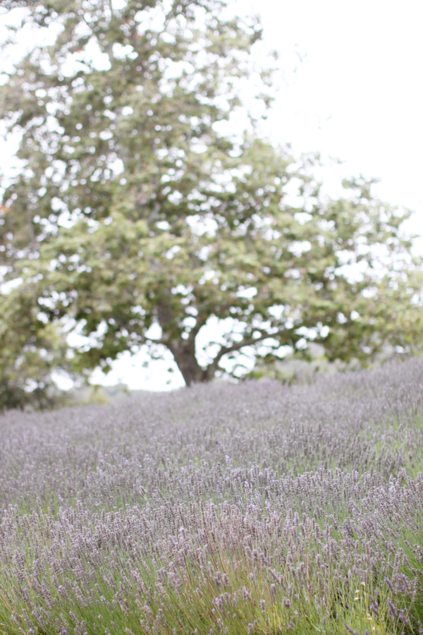 Lavender fields at Carmel Valley Ranch