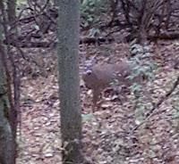 Ohio Whitetail Buck, Rut, Deer Hunting