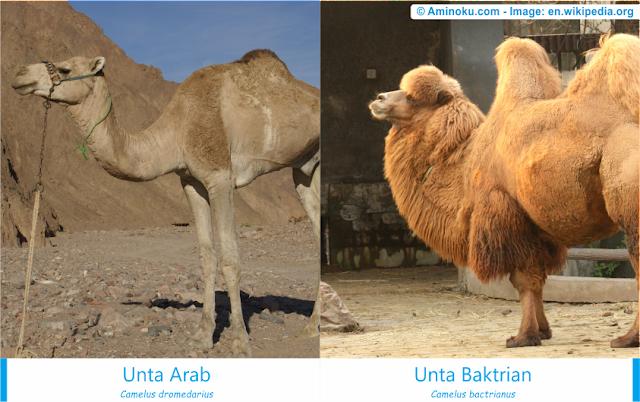 Perbedaan unta arab dan unta baktrian