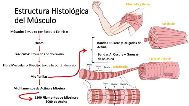 Sarcómero y contracción muscular (MIRAR ENLACE)