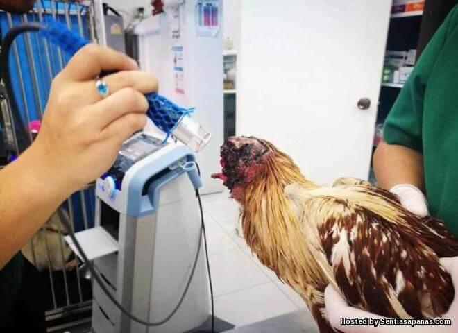 Ayam Tanpa Kepala Masih Hidup Selepas Kepalanya Dipenggal Di Thailand