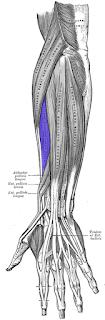 extensor carpi radialis brevis muscle