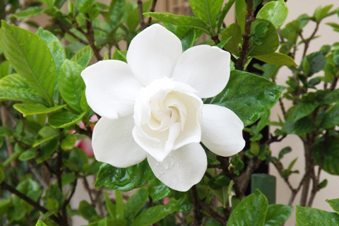 Gardenia flowering shrub in Alpharetta Georgia garden
