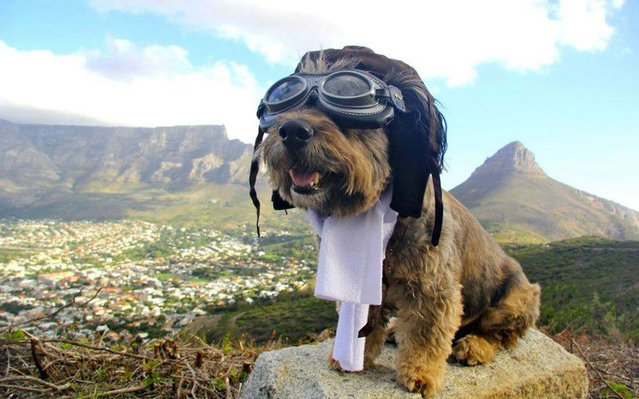 Small dog dressed as an early aviator with white scarf and glasses sits on a rock overlooking a town