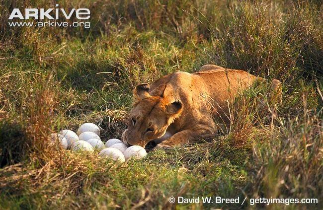 Lions eat egg ostrich