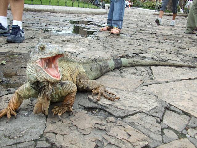 Iguana Verde Gigante
