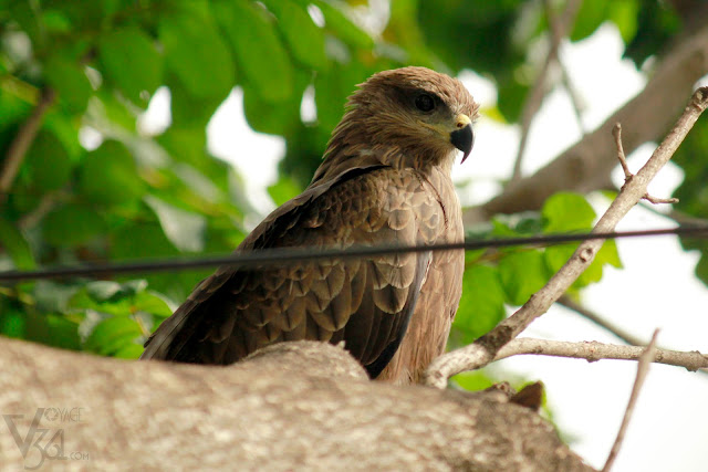 Black Kite - Bengaluru