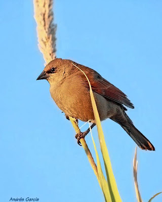 Bay winged Cowbird