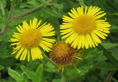 Flores amarillas de Pulicaria dysenterica