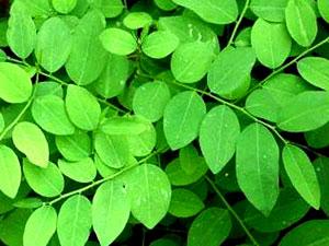daun katuk memiliki manfaat dan khasiat