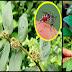 Medicinal Benefits of Asthma Plant (Tawa-Tawa)