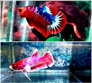 Ini dia gambar perbedaan ikan hias cupang jantan dan betina