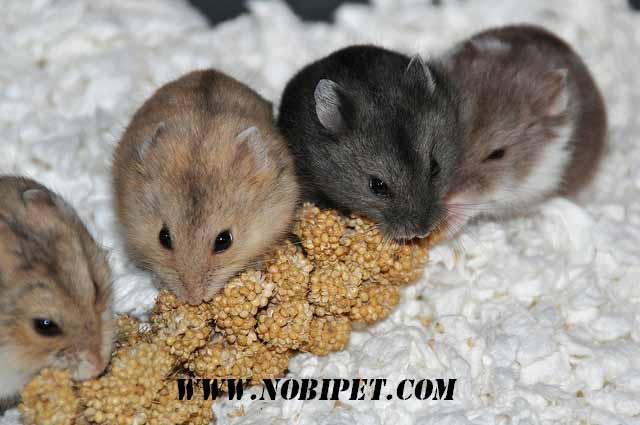 cach-phan-biet-chuot-hamster-winter-white-ww-va-campell-chuyen-nghiep
