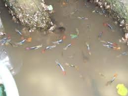 Jangan Usaha Budidaya Ikan Guppy, Baca ini Dulu!
