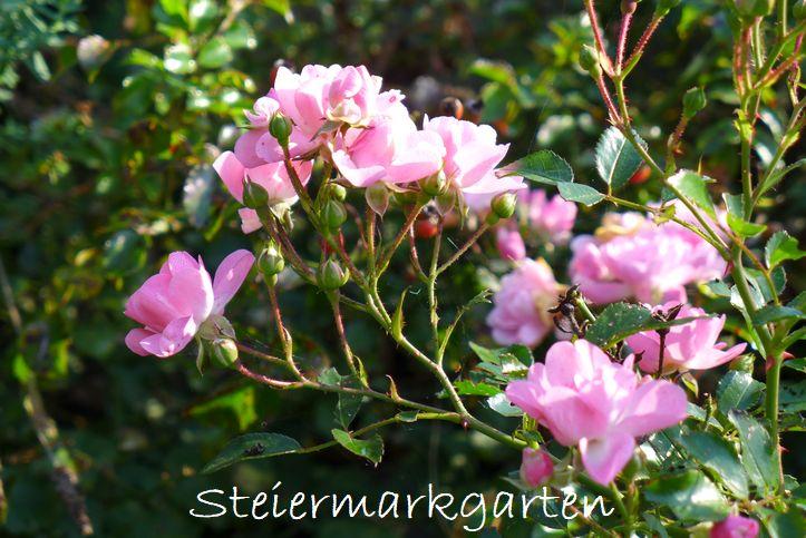 Rosen-Steiermarkgarten