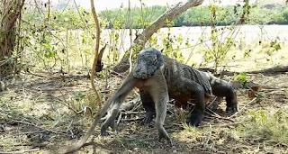 Η στιγμή που ένας δράκος του Κομόντο καταπίνει ολόκληρη μαϊμού!