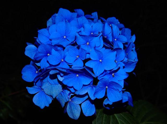 زهرة زرقاء اللون - Blue Color Flower