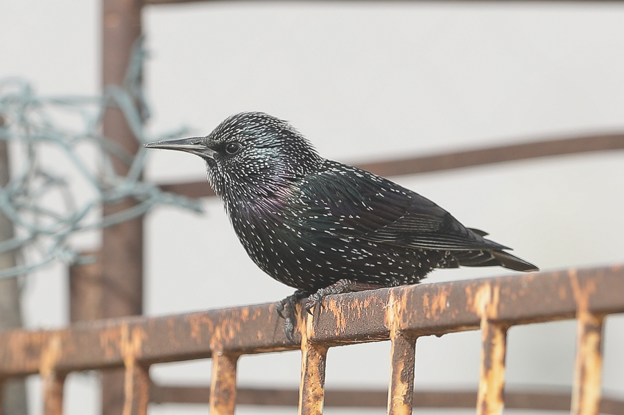 Common Starlings – Jubail