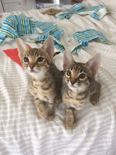 savannah and bengal cats for sale