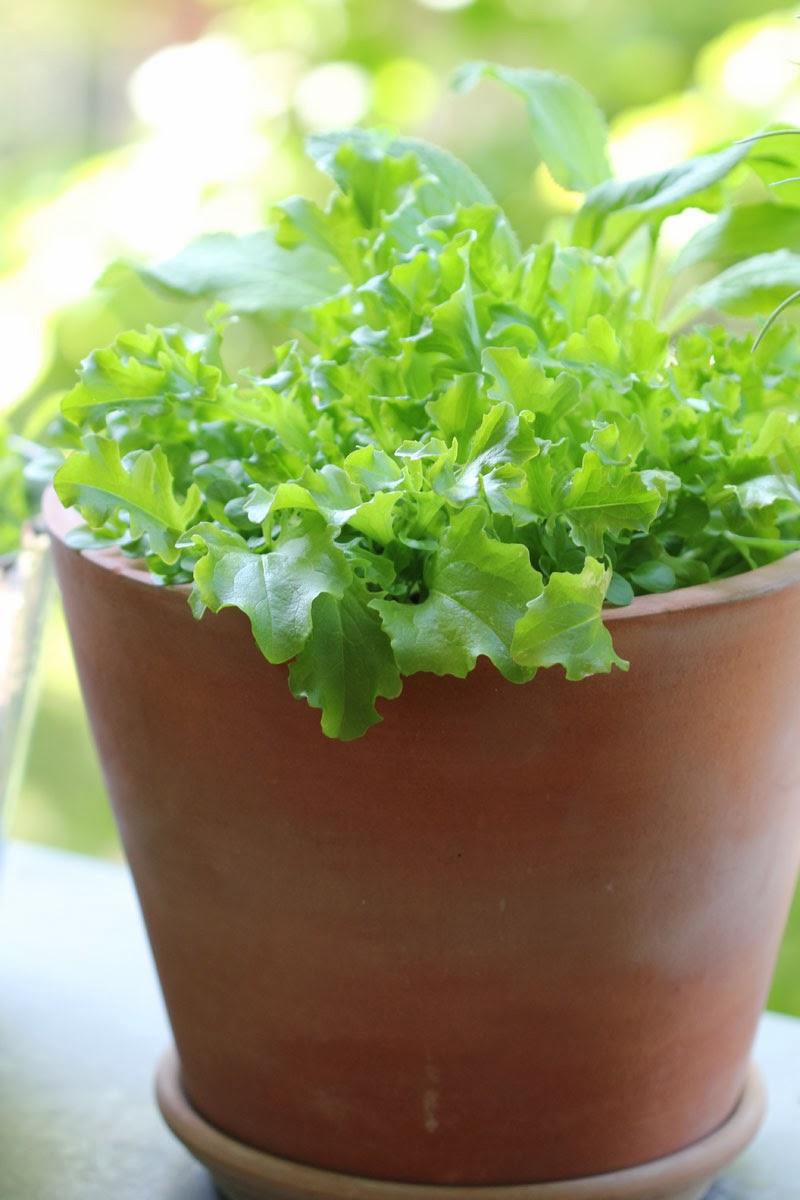 mein balkon salat 1 steckbrief salat. Black Bedroom Furniture Sets. Home Design Ideas
