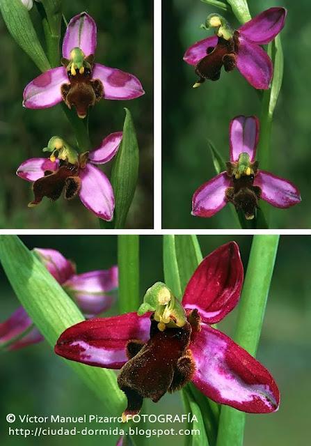 d356886500d9 Una rara orquídea en Almaraz (Cáceres)   Ophrys apifera var ...