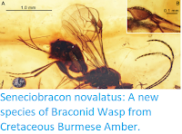 http://sciencythoughts.blogspot.co.uk/2018/02/seneciobracon-novalatus-new-species-of.html