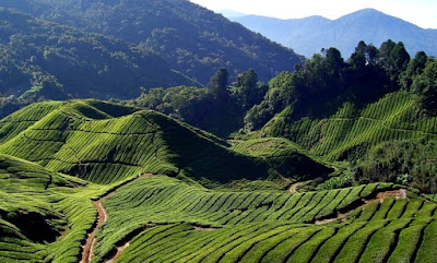 hak guna usaha perkebunan teh