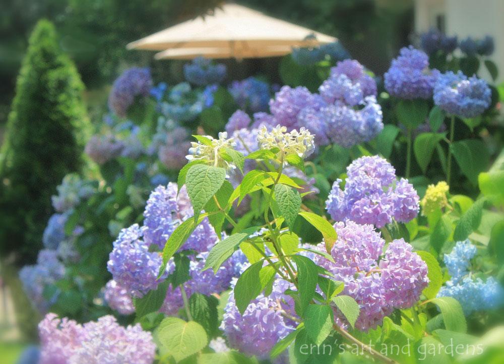 erin's art and gardens: endless summer hydrangea in memoriam