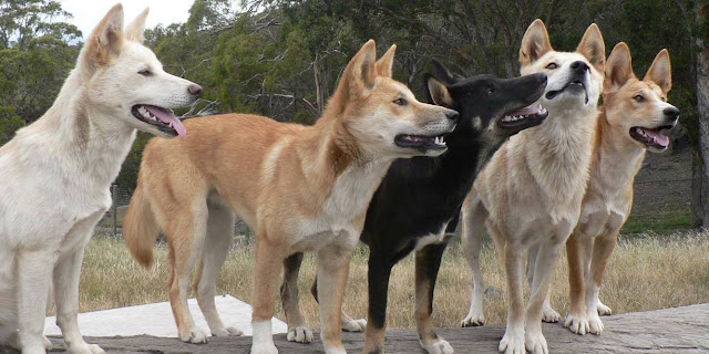 Genetic study uncovers evolutionary history of dingoes