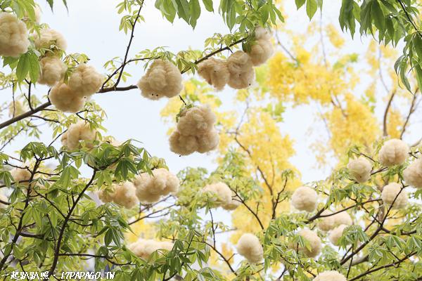 台中南屯|新富路自行車道|阿勃勒與美人樹棉花的相遇