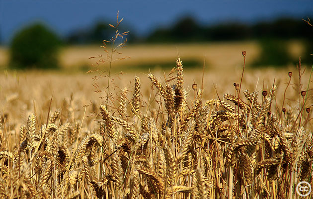 Image Attribute: Wheat Field, Jon Bunting, Creative Commons