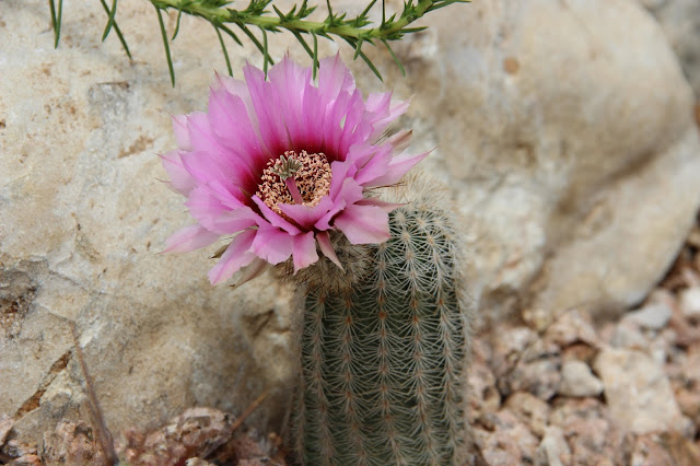 Fitch's Hedgehog Cactus
