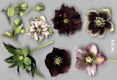 hellebore flowers of mixed colours