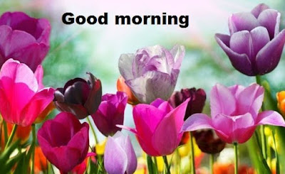 Romantic good morning images with flowers - tulip flowers hd wallpapers