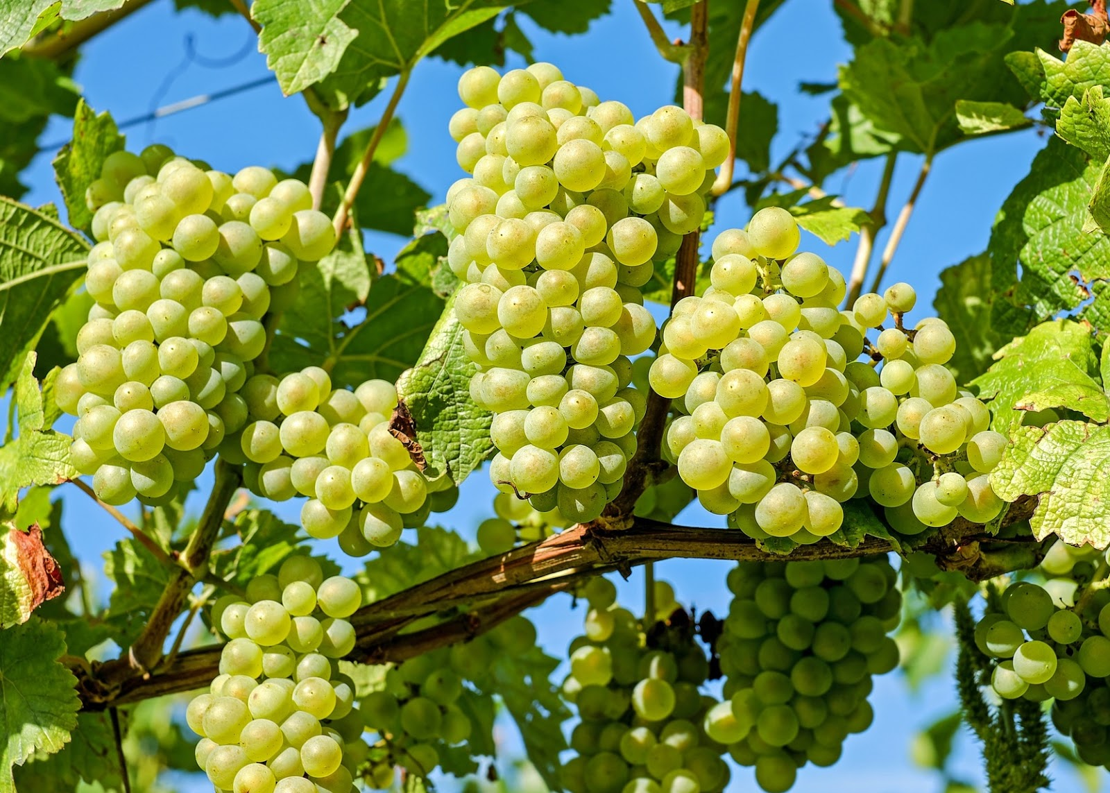 Info Science Grapes Nutrition Facts