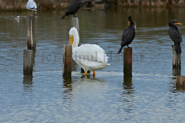 A Great White Pelican With Two Cormorants