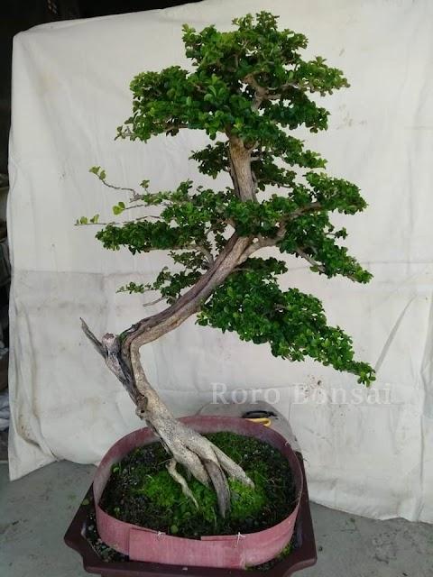 Jual Bonsai Sisir Indah Dipandang untuk Taman Dalam Ruangan