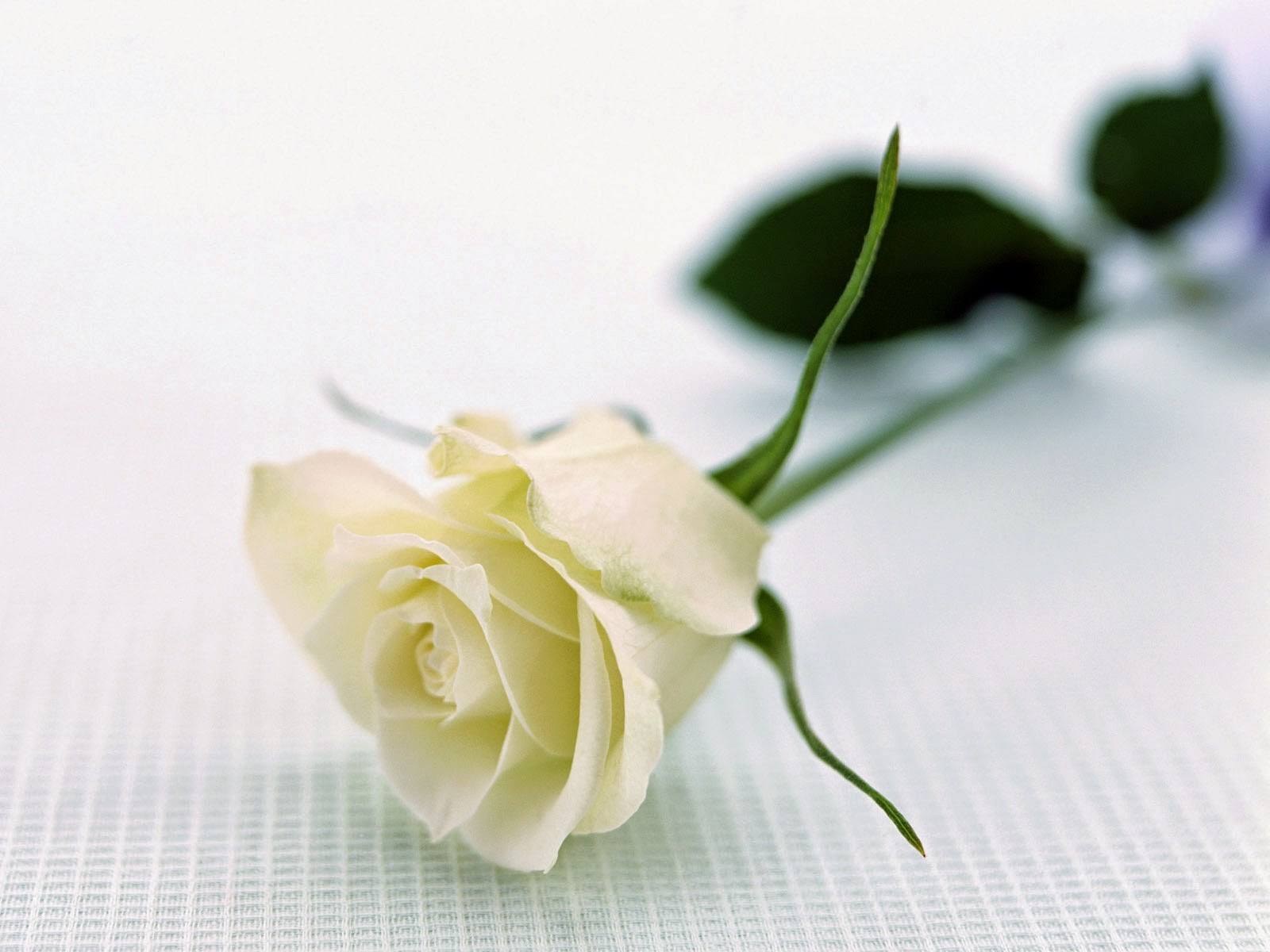 Romantic flowers white rose meaning white rose meaning mightylinksfo Images