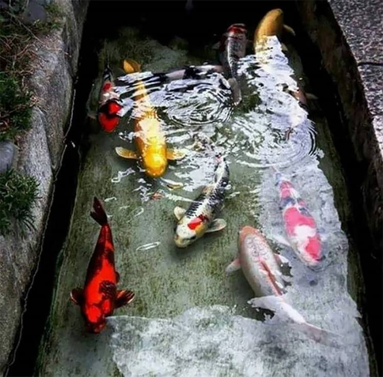 Koi fish, japan drain fish, koi in japan, fishes in japan