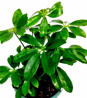 Air purifier Umbrella Tree Brassaia actinophylla