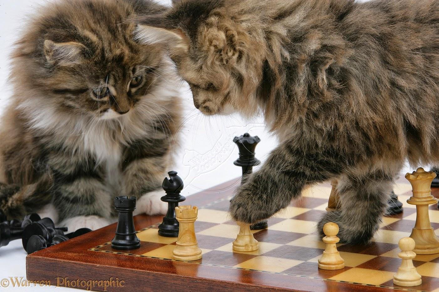 Kucing Lucu Imut Anggora Persia Maine Coon Kecantikan